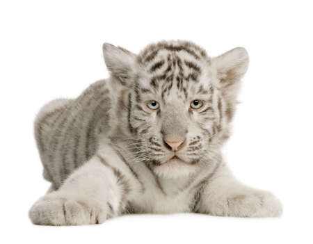 tiger cub: CUB White Tiger (2 mois) devant un fond blanc Banque d'images