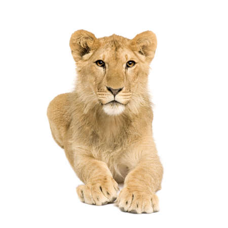 lion cub: Lion Cub (9 months) in front of a white background