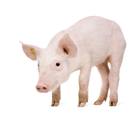 young pig: Young Pig (+-1 month) in front of a white background Stock Photo