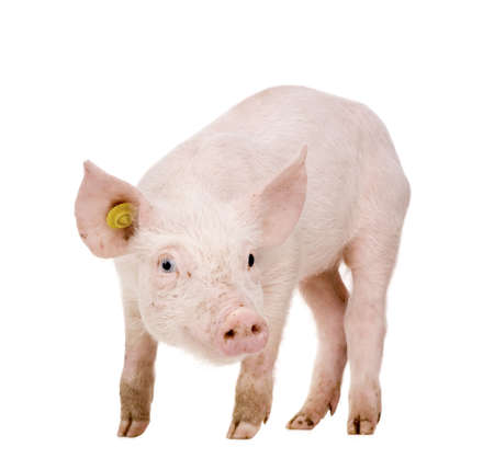 pig tails: Young Pig (+-1 month) in front of a white background Stock Photo