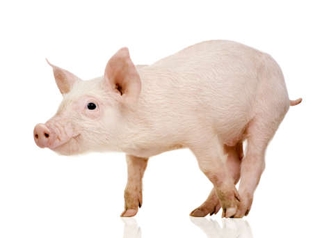 Young Pig (+/-1 month) in front of a white background