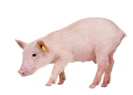 Young Pig (+-1 month) in front of a white background photo