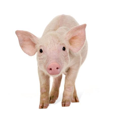 Young pig (+ / -1 month) davanti a uno sfondo bianco