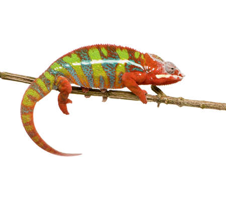 reptilian: Chameleon Furcifer Pardalis - Ambilobe (18 months) in front of a white background