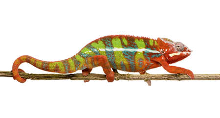 chameleon: Chameleon Furcifer Pardalis - Ambilobe (18 months) in front of a white background