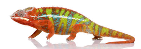 arboreal: Chameleon Furcifer Pardalis - Ambilobe (18 months) in front of a white background