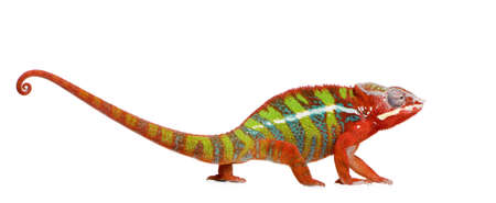 primal: Chameleon Furcifer Pardalis - Ambilobe (18 months) in front of a white background