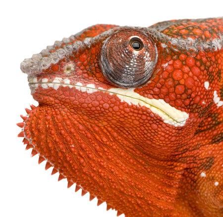 primal: Chameleon Furcifer Pardalis - Sambava (2 years) in front of a white background Stock Photo