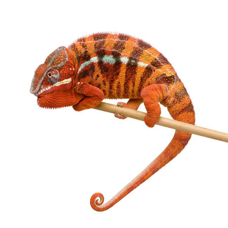 Chameleon Furcifer Pardalis - Sambava (2 years) in front of a white background Фото со стока
