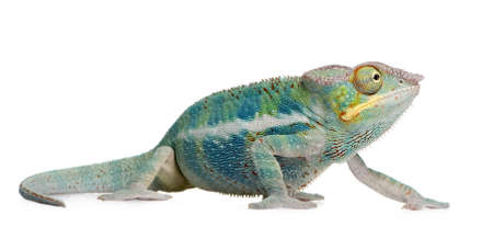 arboreal: Young Chameleon Furcifer Pardalis - Ankify (8 months) in front of a white background