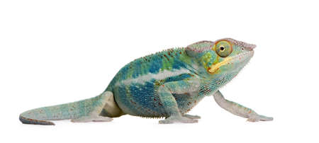 Young Chameleon Furcifer Pardalis - Ankify (8 months) in front of a white background photo