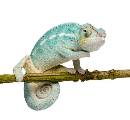 若いカメレオン Furcifer (生理) - おせっかいな白い背景の前で (7 ヶ月) をします。
