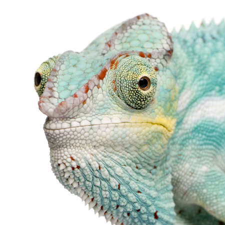 reptilian: Young Chameleon Furcifer Pardalis - Nosy Be (7 months) in front of a white background