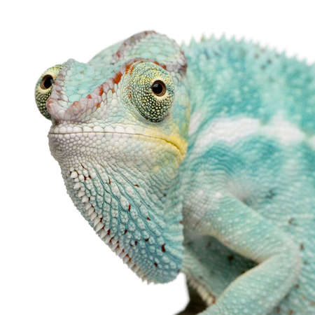 nosy: Young Chameleon Furcifer Pardalis - Nosy Be (7 months) in front of a white background
