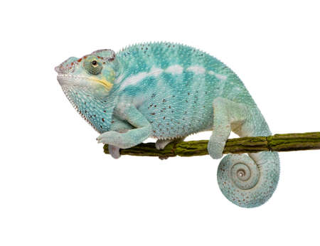 arboreal: Young Chameleon Furcifer Pardalis - Nosy Be (7 months) in front of a white background
