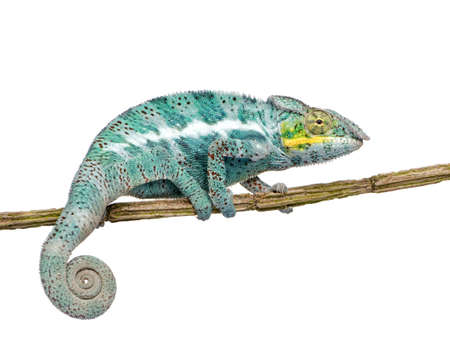 reptilian: Chameleon Furcifer Pardalis - Nosy Faly (18 months) in front of a white background