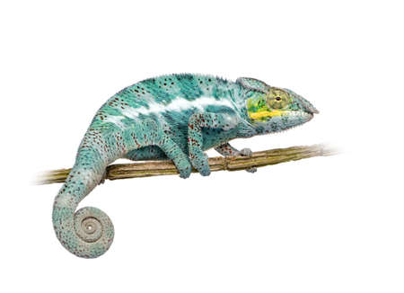 nosy: Chameleon Furcifer Pardalis - Nosy Faly (18 months) in front of a white background