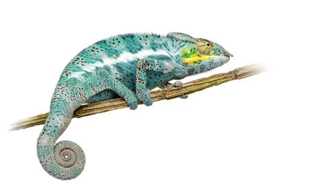 chameleon: Chameleon Furcifer Pardalis - Nosy Faly (18 months) in front of a white background