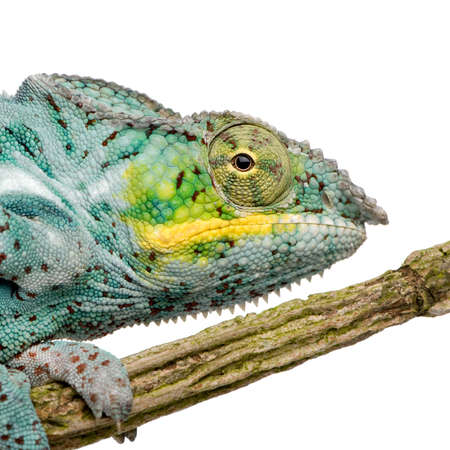 Chameleon Furcifer Pardalis - Nosy Faly (18 months) in front of a white background photo