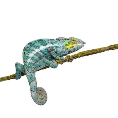 primal: Chameleon Furcifer Pardalis - Nosy Faly (18 months) in front of a white background