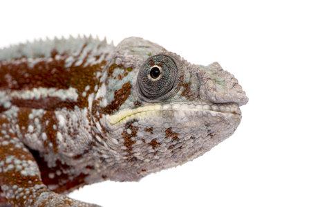 Chameleon Furcifer Pardalis - Masoala (4 years) in front of a white background