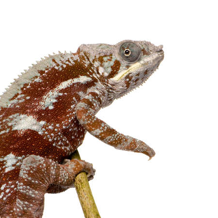 arboreal: Chameleon Furcifer Pardalis - Masoala (4 years) in front of a white background