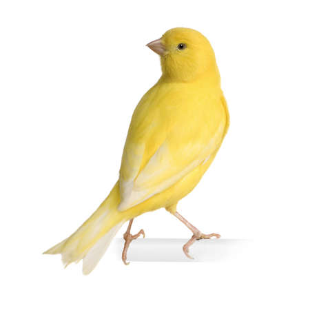 bird's eye view: Yellow canary - Serinus canaria on its perch in front of a white background