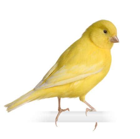 bird view: Yellow canary - Serinus canaria on its perch in front of a white background