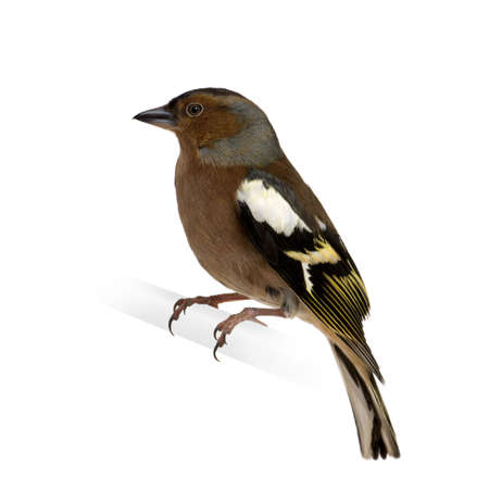 white perch: Chaffinch - Fringilla coelebs on its perch in front of a white background