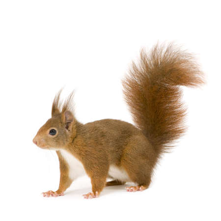 squirrel isolated: Eurasian red squirrel - Sciurus vulgaris (2 years) in front of a white background Stock Photo