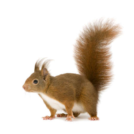 squirrel: Eurasian red squirrel - Sciurus vulgaris (2 years) in front of a white background Stock Photo