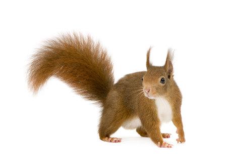 vulgaris: Eurasian red squirrel - Sciurus vulgaris (2 years) in front of a white background Stock Photo