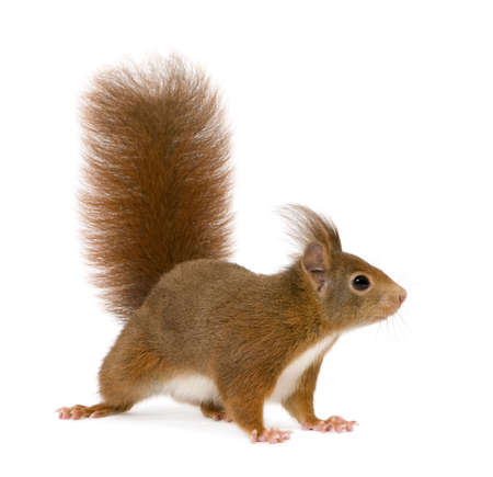 Eurasian red squirrel - Sciurus vulgaris (2 Jahre) vor einem weißen Hintergrund