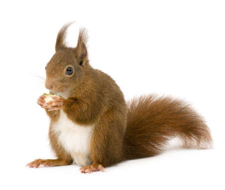 Eurasian red squirrel - Sciurus vulgaris (2 years) in front of a white background Stock Photo