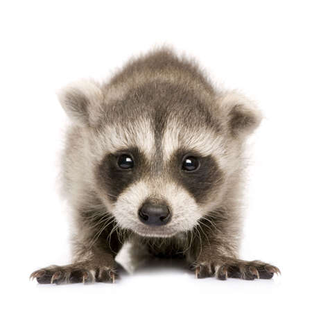 procyon:  raccoon (6 weeks) - Procyon lotor in front of a white background