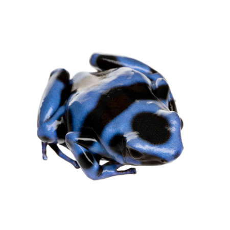 poison dart frog: blue and Black Poison Dart Frog - Dendrobates auratus in front of a white background