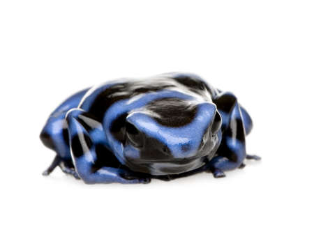 blue and Black Poison Dart Frog - Dendrobates auratus in front of a white background photo