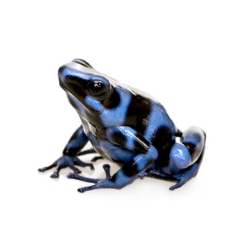 rana venenosa: Negro y azul Poison Dart Frog - Dendrobates auratus delante de un fondo blanco