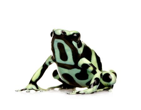 poison frog: verde e nero Poison Dart Frog - Dendrobates auratus davanti a uno sfondo bianco  Archivio Fotografico
