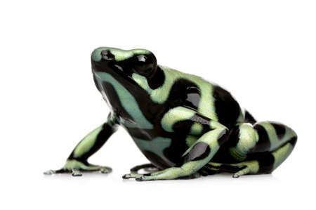 dendrobates: green and Black Poison Dart Frog - Dendrobates auratus in front of a white background