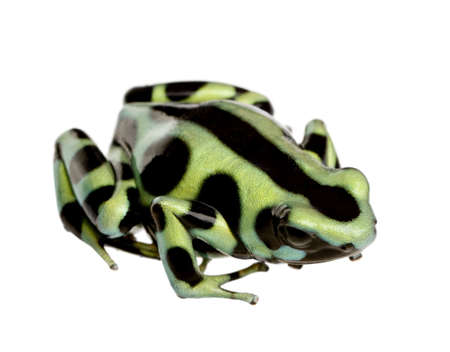 green and Black Poison Dart Frog - Dendrobates auratus in front of a white background photo