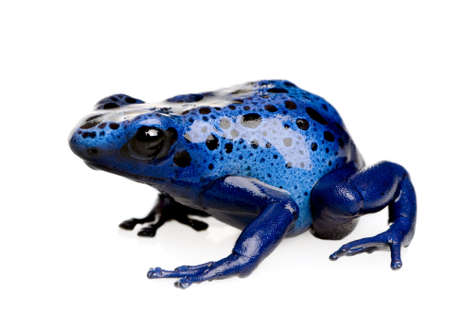 dart frog: Dendrobates azureus in front of a white background