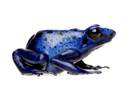 poison dart frog: Dendrobates azureus in front of a white background