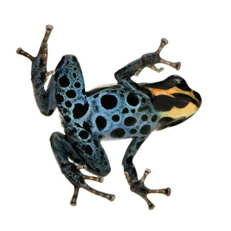 yellow and black poison dart frog: Poison Dart Frog - ranitomeya amazonica or Dendrobates amazonicus in front of a white background