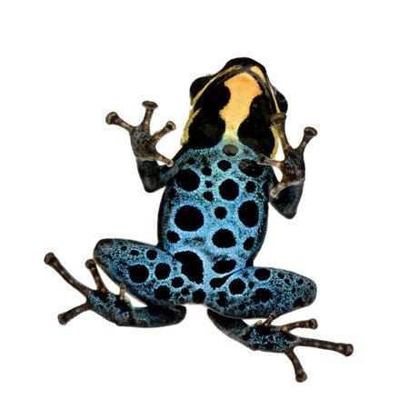 rana venenosa: Poison Dart Frog - ranitomeya amazonica o Dendrobates amazonicus delante de un fondo blanco