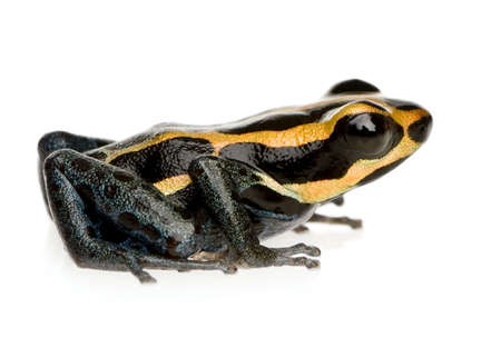 Poison Dart Frog - ranitomeya amazonica or Dendrobates amazonicus in front of a white background photo
