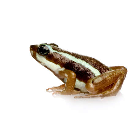 poison frog: Phantasmal poison frog - Epipedobates tricolor in front of a white background