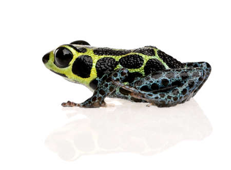 Imitating Poison Frog - Ranitomeya imitator  in front of a white background Stock Photo - 3232319