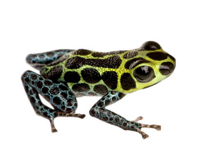 dart frog: Imitating Poison Frog - Ranitomeya imitator  in front of a white background