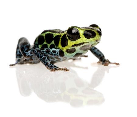 ranitomeya: Imitating Poison Frog - Ranitomeya imitator  in front of a white background